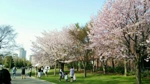 中島公園の桜-5月