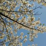 小樽サイクリングコース-桜