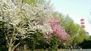 道庁赤レンガの桜-5月